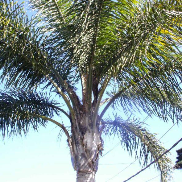 palmera-pindo-mas-de-6-mts-incluido-follaje-d_nq_np_1685-mlu2910085606_072012-f